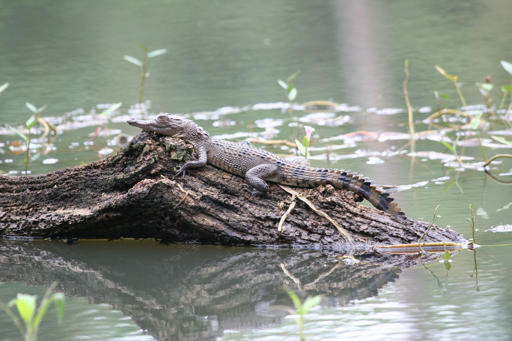 Philippine crocodile - photo#17