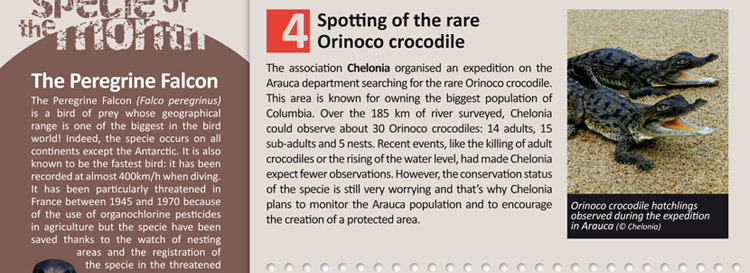 Spotting of the rare Orinoco crocodile